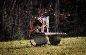 picture of funeral home  - Beagle dog walking on bench in cemetery - JPG