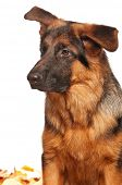 stock photo of german-sheperd  - German Shepherd puppy - JPG