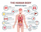 Human Body Internal Organs And Parts Info Poster Vector. Heart And Brain, Liver And Kidneys. Thymus  poster