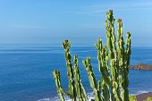 Branches Of Cactus Plant On The Coastline Against Blue Water And Sky. Portuguese Island Of Madeira poster