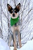 stock photo of blue heeler  - Blue Heeler puppy sporting green bandanna while on top of large snow drift  - JPG