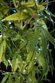 Marijuana Plant Close up. Medical or Recreational Marijuana Plant with Blue Christmas lights. Black  poster