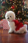 Christmas Dog. Small White Dog in a Red Velvet Christmas Dress.  Bichon Frise Christmas. White Puppy poster