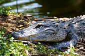 foto of alligators  - Portrait of an alligator lazily lying in the swamps of the Everglades National Park Florida - JPG