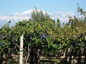 stock photo of aconcagua  - blue grapes in the vineyard by the Andes - JPG