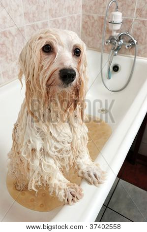 A Bathing Havanese Dog