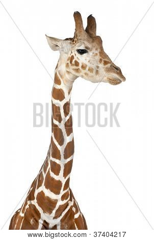 Somali Giraffe, commonly known as Reticulated Giraffe, Giraffa camelopardalis reticulata, 2 and a half years old against white background