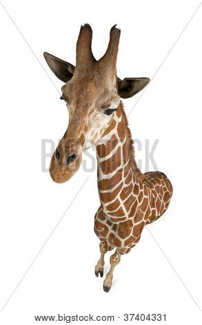 High angle view of Somali Giraffe, commonly known as Reticulated Giraffe, Giraffa camelopardalis reticulata, 2 and a half years old standing against white background