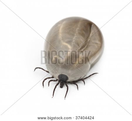 Engorged of blood Castor bean tick, Ixodes ricinus, a species of hard-bodied tick, against white background