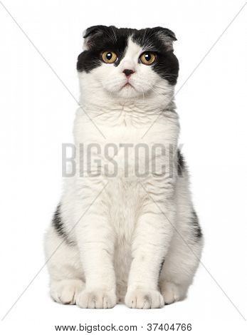 Scottish Fold, 6 months old, sitting against white background