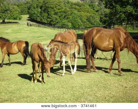 Brumbies, Mares And Their Foals At Mountainthyme Sanctuary, Bellingen, Nsw, Aust.