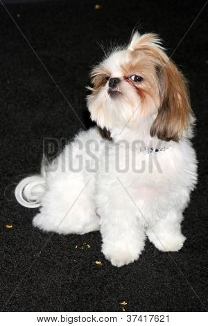 "LOS ANGELES - OCT 30:  Bonny the Shih Tzu  at the ""Seven Psychopaths"" Premiere at Bruin Theater on October 30, 2012 in Westwood, CA"