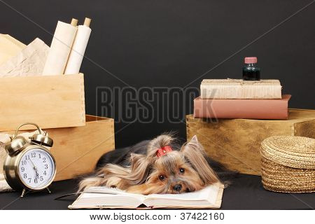 Beautiful yorkshire terrier surrounded by antiques on black background