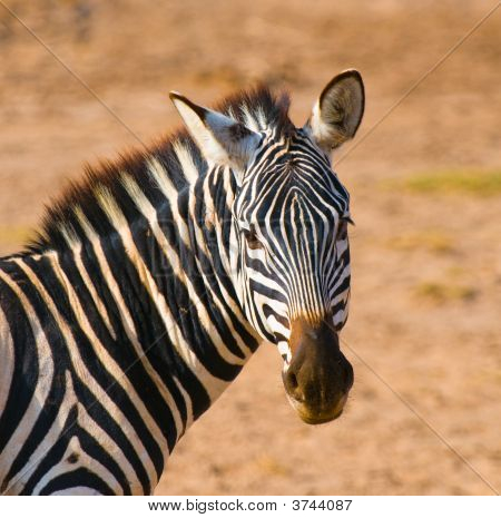 Zebra\'S Head