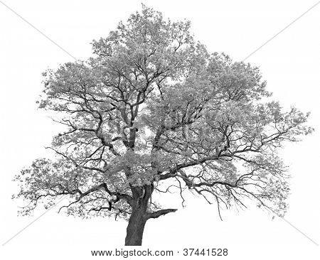 Black and white (monochrome) picture of a single oak tree