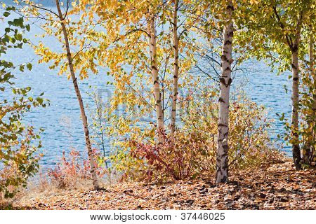 Birch Trees By The Lake
