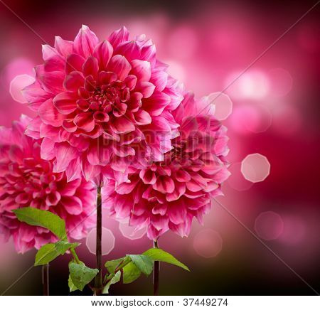 Dahlia Autumn Flowers