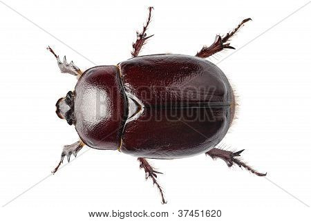"""Nashornkäfer weibliche """"oryctes nasicornis"""" Arten"""