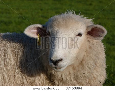 Face of a Young Sheep