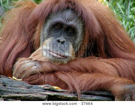 Orangutan Posing Serious