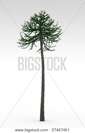 Araucaria old prehistoric tree isolated