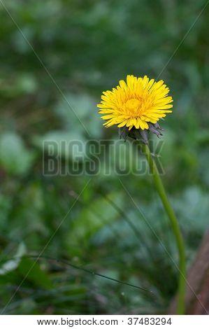 Single Tussilago Flower