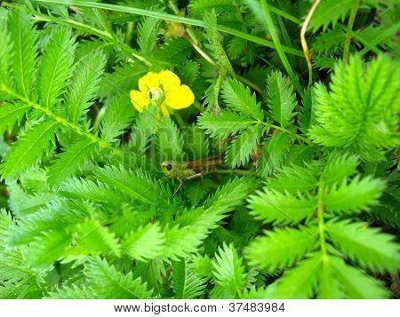 Green grasshopper in a green brushwood