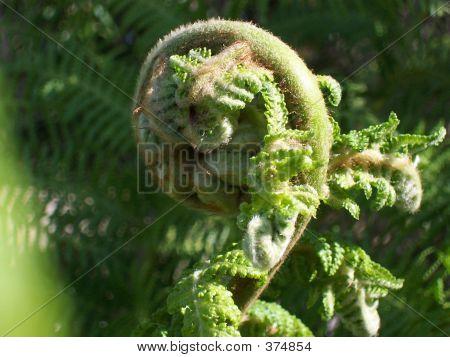 Australian Tree Fern - Furled Frond - In Sunlight