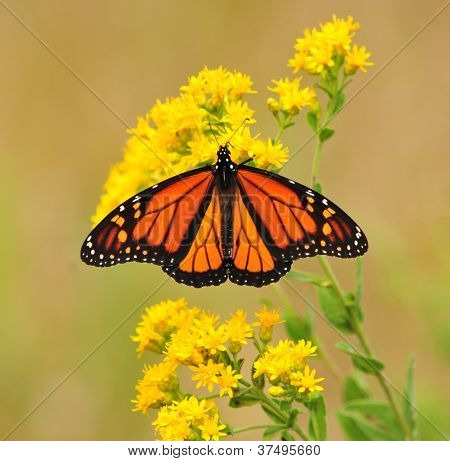 Monarch butterfly on goldenrod flower