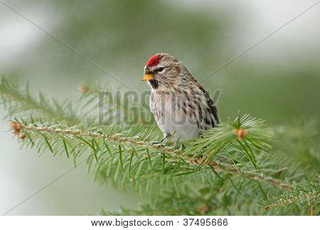 Common redpoll bird