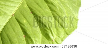 Infested Lemon Leaf