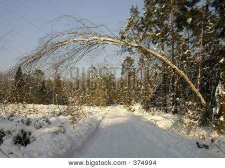Tree Over Winter Road