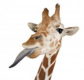 Somali Giraffe, commonly known as Reticulated Giraffe, Giraffa camelopardalis reticulata, 2 and a ha