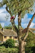 picture of man chainsaw  - Man up a tall tree working with a chain saw - JPG