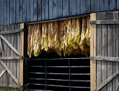 stock photo of tobacco barn  - Row of tobacco leaves curing in a barn - JPG