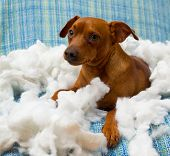 foto of mischief  - naughty playful puppy dog after biting a pillow tired of hard work - JPG