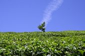 picture of tatas  - vertical cloud above tree in tea plantation munnar india - JPG