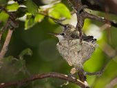 picture of spiderwebs  - two hummingbirds sitting on a tiny hummingbird nest made of lichen and spiderwebs
