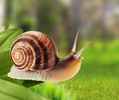 Garden snail climbing on a leaf in the park