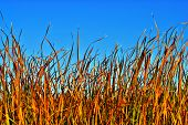 image of tall grass  - A wall of reeds or grass with blue sky above - JPG