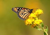 image of goldenrod  - Monarch butterfly perched on bright yellow goldenrod flower in the prairie - JPG
