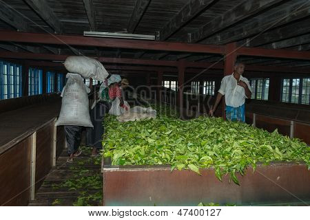 Fresh Tea Crop Drying On Tea Factory