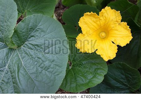 pumpkin flower in the field