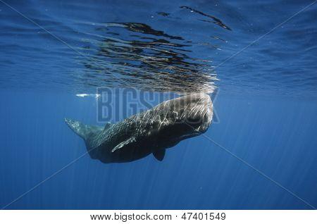 Sperm whale portriat