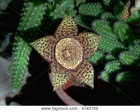La Flor De Cactus