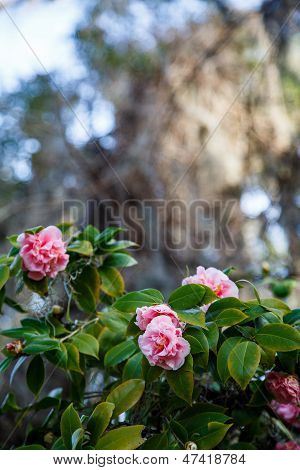 Rose Shrub In Southern Forest