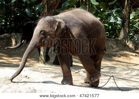 Chained Baby Elephant Foot