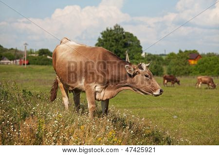 Horned Cow Grazing Among Wildflowers