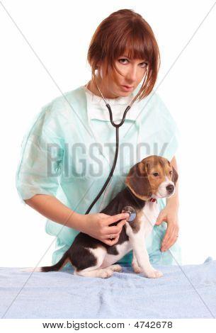 Médico veterinário e um filhote de cachorro Beagle