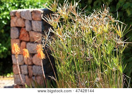 Ornamental Papyrus Grass